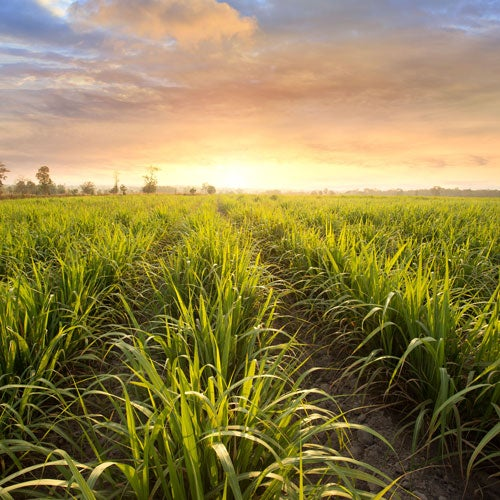 Sugarcane field at sunset